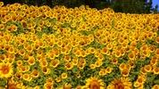 Sommersonnenblumen